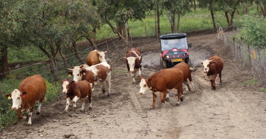 פרות הגולן